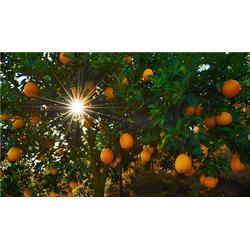 鹏瑞农业开发,脐橙商,浙江脐橙图片