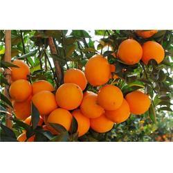 脐橙|鹏瑞农业开发(在线咨询)|甘肃脐橙图片