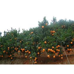 鹏瑞农业开发(图),脐橙销售,聊城脐橙图片