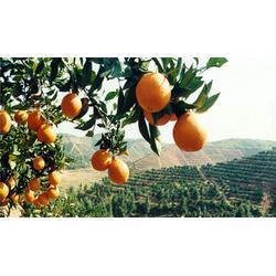 深圳脐橙市场|北京脐橙|鹏瑞农业开发图片