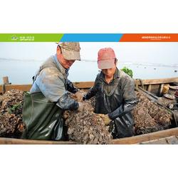 威海海参捕捞节、德明公司(在线咨询)、海参捕捞图片