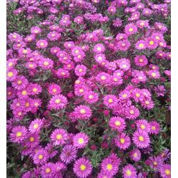 张家口花卉苗木、花卉苗木绿化、春满人间花卉苗木图片