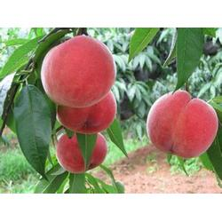 惠农映霜红、映霜红桃树苗的、连云港映霜红图片