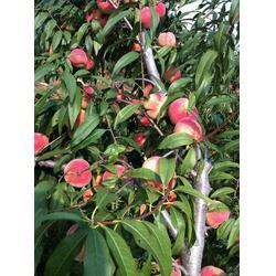 长寿区映霜红桃苗-惠农映霜红-映霜红桃苗的图片