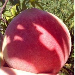 惠农映霜红(图),映霜红桃苗产地,映霜红桃苗图片