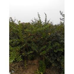 青岛绿化苗木-惠农映霜红(在线咨询)桂花绿化苗木图片