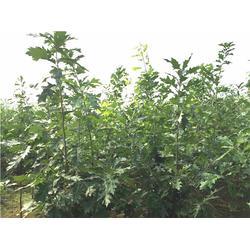 成武欧洲红栎,美彩枫,欧洲红栎种子图片