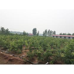 北美红栎基地、齐河北美红栎、美彩枫(查看)图片