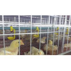 多层肉鸡笼尺寸-禽翔畜牧(在线咨询)海阳多层肉鸡笼图片