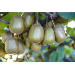 红心猕猴桃推荐,宏峰猕猴桃声名远扬,吉林红心猕猴桃图片
