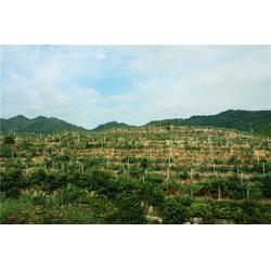 宏峰猕猴桃放心-红心猕猴桃-黑龙江红心猕猴桃图片