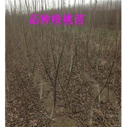 三公分核桃树|四公分核桃树|山东四公分核桃树图片
