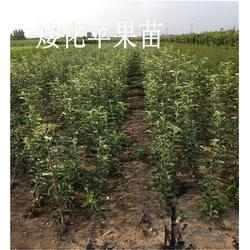 苹果苗新品种、苹果苗、留源苗木基地(查看)图片