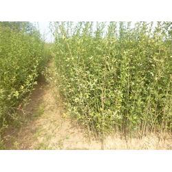 枸桔苗、枸橘苗种植基地、枸橘苗图片