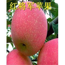 红富士苹果苗基地、红富士苹果苗、唐木甜红富士苹果苗图片