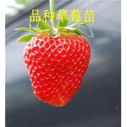 草莓苗、章姬草莓苗商、当年草莓苗(多图)图片
