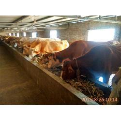 肉牛养殖技术、天时养殖(在线咨询)、肉牛图片