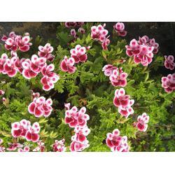 枣庄三色堇,秀岗花卉苗木(在线咨询),三色堇培育及图片
