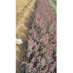 鸢尾种植及|威海鸢尾|秀岗花卉苗木(查看)图片