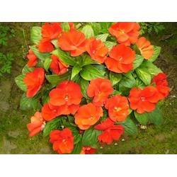 三色堇的-秀崗花卉苗木(在線咨詢)濰坊三色堇圖片