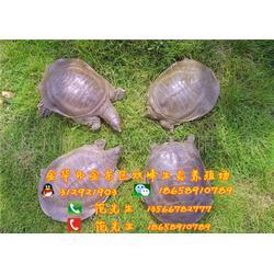 深圳甲鱼|双峰生态甲鱼口碑好(在线咨询)|甲鱼图片
