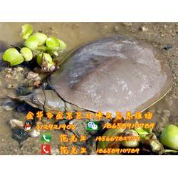 双峰生态甲鱼联系方式(图)_生态甲鱼专卖_梅州生态甲鱼图片