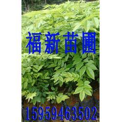 降香黄檀苗 黄花梨苗 和降香黄檀种子 黄花梨树苗图片