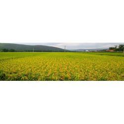 天然种植黑土有机五常大米_米稻库(在线咨询)图片