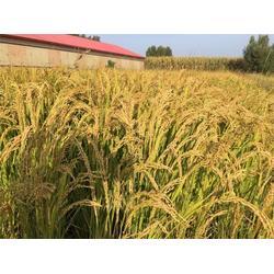 五常大米,米稻库合作社,东北五常大米行情图片