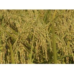 五常稻花香大米-米稻库合作社-优质五常稻花香大米图片