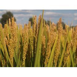 五常大米-米稻库合作社-无糖五常大米图片