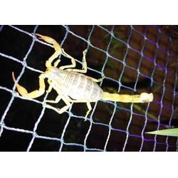 养殖蝎子,毒蝎养殖发展中心,河南适合养殖蝎子吗图片