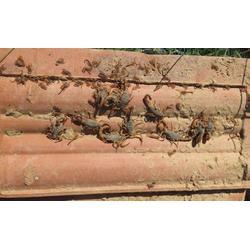 野生蝎子养殖技术|毒蝎养殖发展中心|河南野生蝎子养殖图片