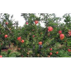 糖尿病能吃什么水果,水果,宏鸿农产品集团图片