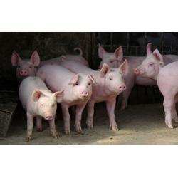 宏鸿农产品、猪肉配送公司、深圳猪肉配送图片