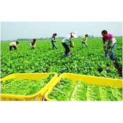 上海蔬菜配送网|蔬菜配送|宏鸿农产品集团图片