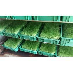 芽苗菜生产技术首选项目、芽苗菜生产技术、爽舌尖芽苗菜微工厂图片