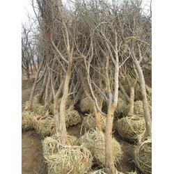 大红石榴苗,泰安开发区普惠园艺场,黑河市石榴图片
