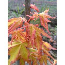 红枫苗木育种方法|红枫|耘锦苗木图片