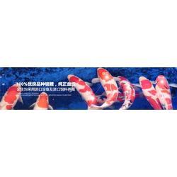 吉林锦鲤,金庄锦鲤鱼,日本锦鲤鱼苗图片