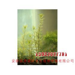 荷美轩 白洋淀水藻-水藻图片