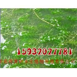河南水藻,荷美轩(在线咨询),水藻图片
