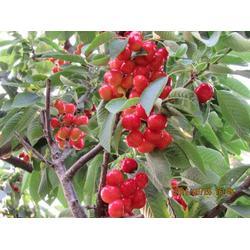 樱桃品种苗-隆发园艺(在线咨询)樱桃品种图片