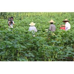 【黄腾农业】(图)、黄秋葵种植厂家、黄秋葵种植图片