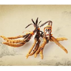 (得一斋)(多图),河南冬虫夏草怎么吃好,驻马店冬虫夏草图片