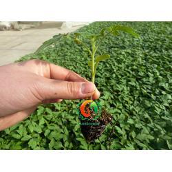 聊城西红柿苗哪里的好,西红柿苗,安信种苗图片