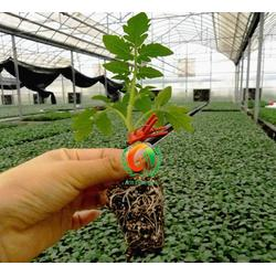 安信种苗、西红柿苗、山东哪里有西红柿苗图片