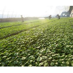 安信种苗(图) 滨州黄瓜苗哪里的好 黄瓜苗图片