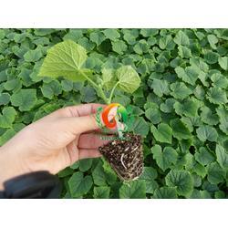 安信种苗(多图)、蔬菜苗厂家、蔬菜苗图片