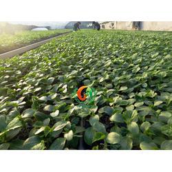 黄瓜苗_黄瓜种苗(在线咨询)_济南黄瓜苗厂家图片
